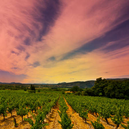 Young Vineyard in Southern France, Sunset photo