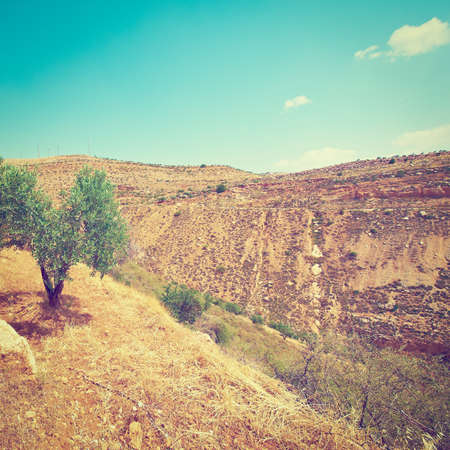 Olive Tree on the Slopes of the Mountains in Samaria, Israel photo