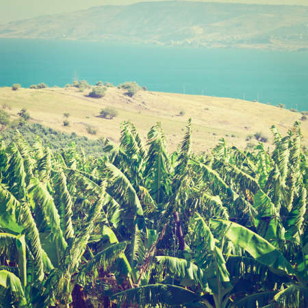 the golan heights: Banana Plantation on the Golan Heights