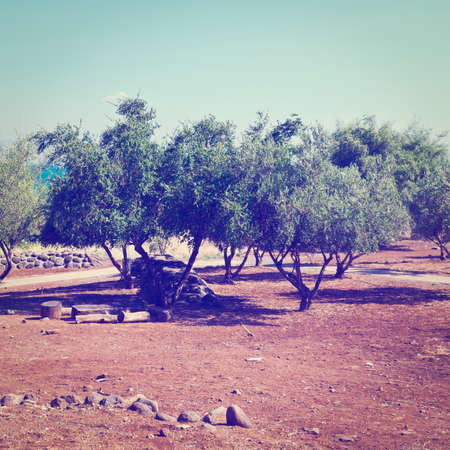 Olive Grove on the Shore of the Sea of Galilee photo