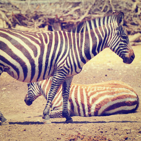 striping: Zebra, Each Animal Has an Individual Striping Pattern Stock Photo