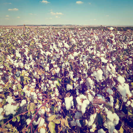 cotton cloud: Ripe Cotton Bolls on Branch Ready for Harvests.