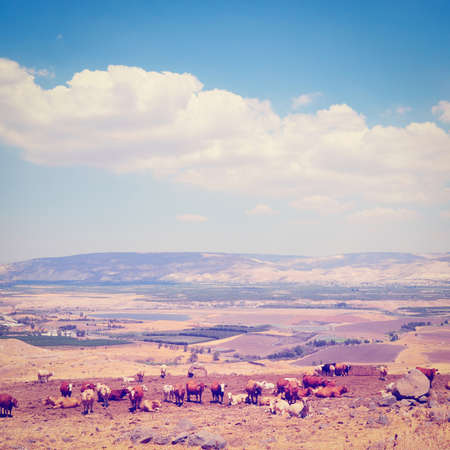israel farming: Landscape of Galilee Mountains with Herb of Cows on the Pasture, Israel