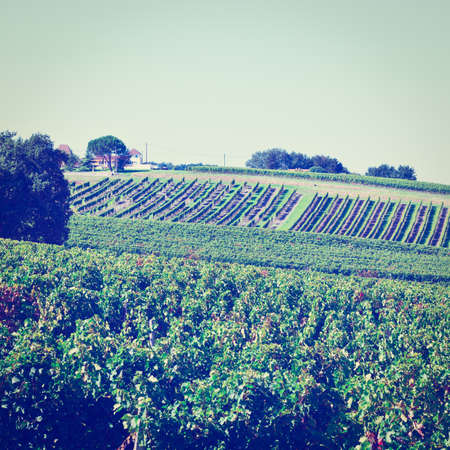 winepress: Ripe Grapes in the Autumn in Bordeaux, France,