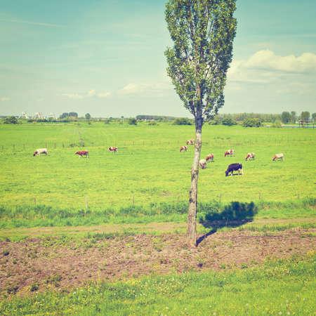 floodplain: Cows Grazing in the Floodplain of the Rhine, Netherlands,