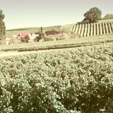 winepress: Ripe Black Grapes in the Autumn in Bordeaux, Vintage Style Toned Picture