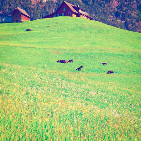 Goats Grazing on Green Pasture in Switzerland, Instagram Effect photo