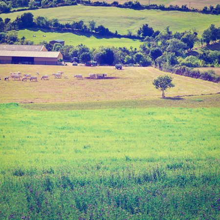 Cows and Bulls Grazing on Alpine Meadows in France, Instagram Effect photo