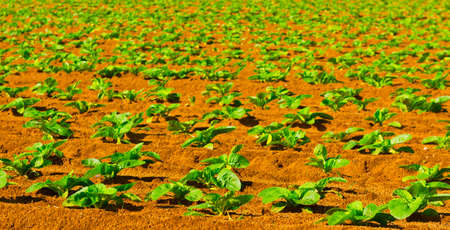 seed bed: Rows of Fresh Young Green Seedling in Portugal