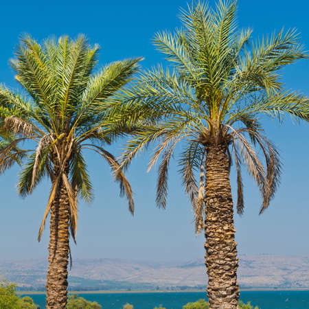 kibbutz: Date Palms on the Shore of the Sea of Galilee