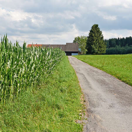 fodder: Plantation of Fodder Corn in Southern Bavaria, Germany