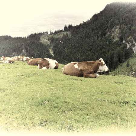 Cows Grazing on Pasture in Southern Bavaria, Germany, Retro Image Filtered Style photo