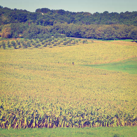 Plantation of Corn in the French Limousen, Instagram Effect photo