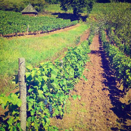 winepress: Ripe Black Grapes in the Autumn in France