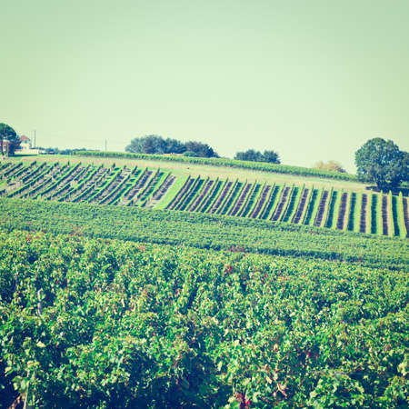 winepress: Ripe Grapes in the Autumn in Bordeaux
