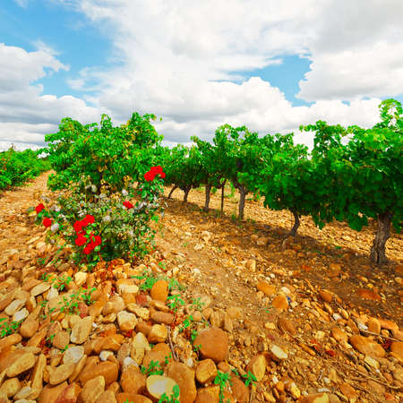 rosebush: Hill in Spain with Ripe Vineyard and Rosebush Stock Photo