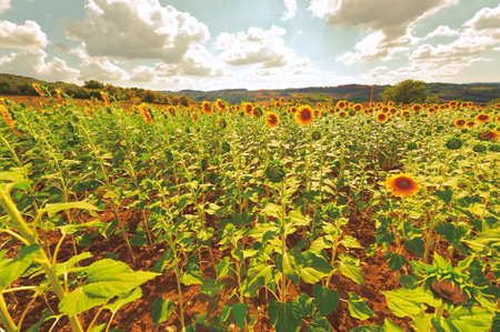 Sunflower Plantation on the Hills of Tuscany at Sunset, Vintage Style Toned Picture photo