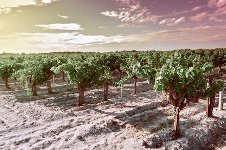 winepress: Ripe Grapes in the Autumn in France at Sunset, Vintage Style Toned Picture