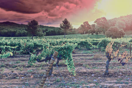 winepress: Ripe Black Grapes in the Autumn in France at Sunset, Retro Image Filtered Style