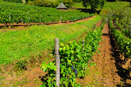 winepress: Ripe Black Grapes in the Autumn in France