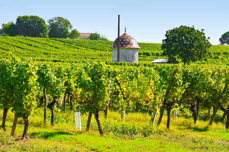 winepress: Ripe Grapes in the Autumn in Bordeaux, France