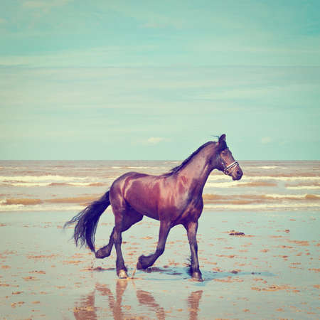 horses: Dancing Horse on the North Sea Coast in Zealand in Netherlands