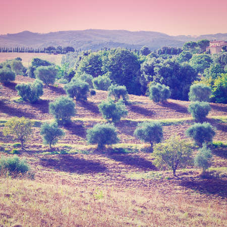 olive groves: Tuscan Landscape with Olive Groves at Sunset in Italy Stock Photo