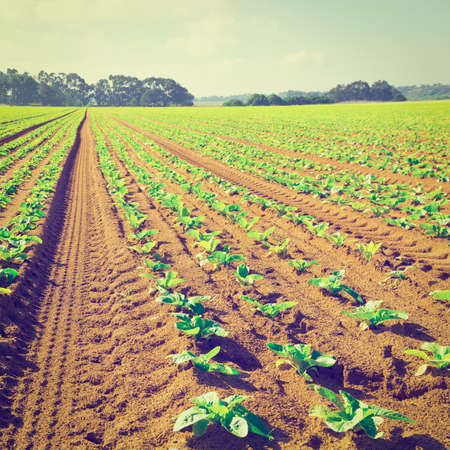 furrow: Rows of Fresh Young Green Seedling in Portugal