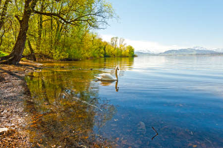 cygnet: White Swan on the Lake Zuger in Switzerland