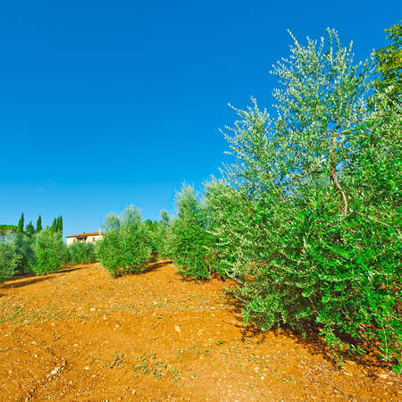 arboleda: Olivar en Italia