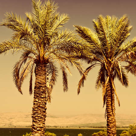 kibbutz: Date Palms on the Shore of the Sea of Galilee in Israel at Sunset, Vintage Style Toned Picture