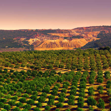 cantabrian: Olive Plantation in the Cantabrian Mountains of Spain at Sunset, Vintage Style Toned Picture Stock Photo