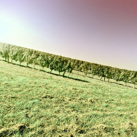 winepress: Ripe Black Grapes in the Autumn in Bordeaux at Sunset, France, Vintage Style Toned Picture Stock Photo