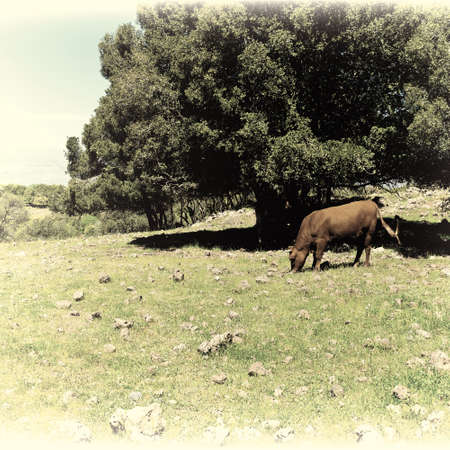 golan: Cow Grazing on the Golan Heights in Israel, Vintage Style Toned Picture