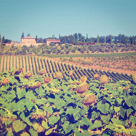 granja: Plantaci�n de girasol, vi�edos y olivos en las colinas de la Toscana
