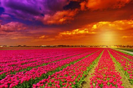 Ondergaande zon over tulpenvelden in Nederland