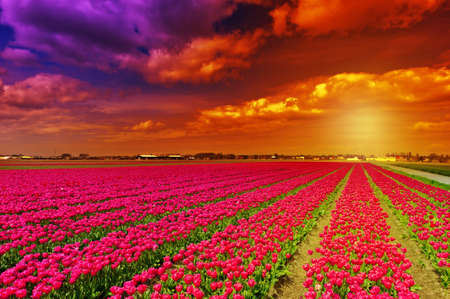 Setting Sun over Fields of Tulips in Netherlands