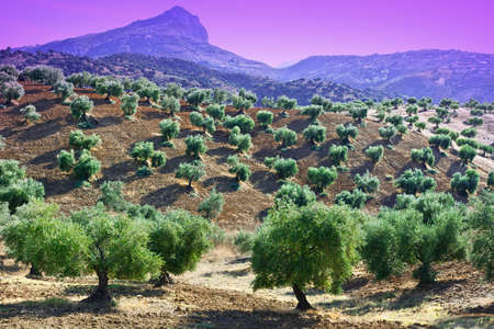 olive groves: Olive Groves and Plowed Sloping Hills of Spain in the Autumn at Sunset