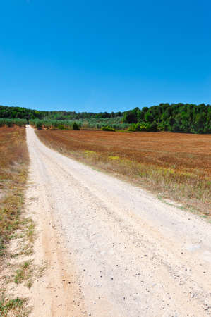 olive groves: Dirt Road between Olive Groves in Tuscany, Italy