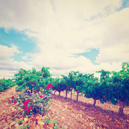 rosebush: Hill in Spain with Ripe Vineyard and Rosebush, Vintage Style Toned Picture