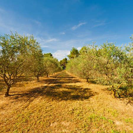 olive groves: Landscape with Olive Groves  in France