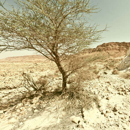 west bank: Tree in the Judean Desert on the West Bank, Vintage Style Toned Picture