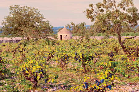 winepress: Ripe Black Grapes in the Autumn in France, Vintage Style Toned Picture