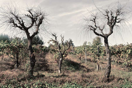 grape vines: Hill of Tuscany with Vineyard in the Chianti Region, Vintage Style Toned Picture