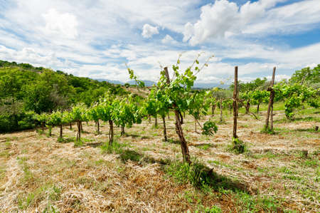 grape vines: Young Vineyard in the Italian Apennines
