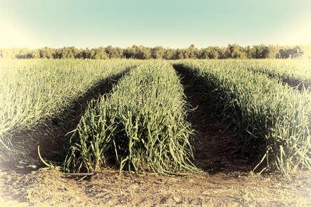 cebolla: Plantación de cebollas verdes en los Altos del Golán en Israel, Imagen retro Estilo filtrada Foto de archivo