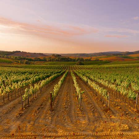 viñedo: Colinas de Toscana con viñedos en la puesta del sol Foto de archivo