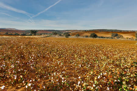 harvests: Cotton Field in Spain Ready for Harvests