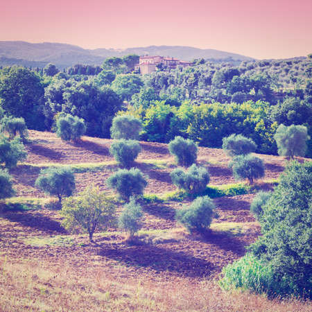 olive groves: Tuscan Landscape with Olive Groves at Sunset in Italy, Instagram Effect