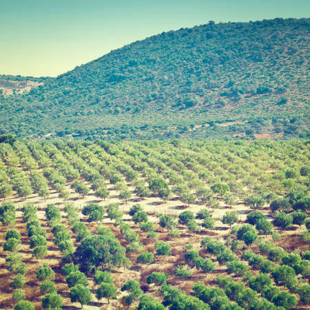 olive groves: Olive Groves on the Hills in Spain, Instagram Effect Stock Photo